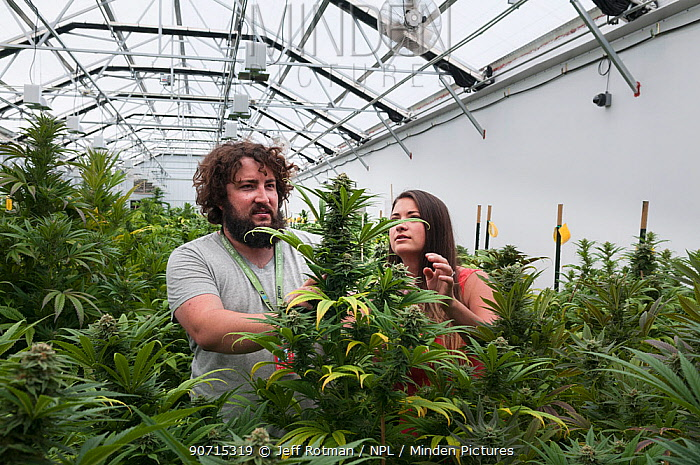 Man and woman with Cannabis plant in organic Marijuana farm, Pueblo, Colorado, USA, June 2015. . Marijuana has legalized in the state of Colorado, and this farm produces Marijuana for medical and retail purposes. Model and Property released.