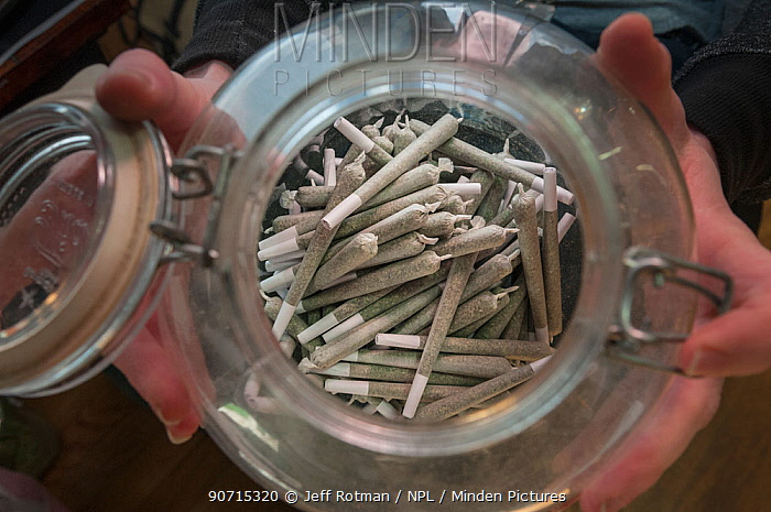 Rolled marijuana / cannabis joints, in cannabis dispensary, Denver, Colorado, USA, June 2015. Marijuana has legalized in the state of Colorado, and this farm produces Marijuana for medical and retail purposes. Model and Property released.