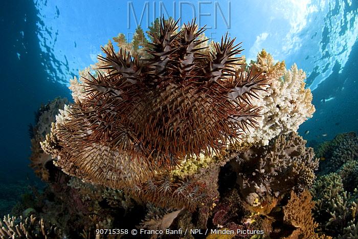 Crown-of-thorns starfish (Acanthaster planci) feeding on coral, Menjangan Island, Bali Island, Indonesia, Pacific Ocean