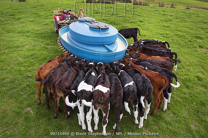 Fresian-Jersey cross calves (Bos taurus) feeding from a mobile milk feeding machine, Ashley Clinton, Hawkes Bay, New Zealand, September.