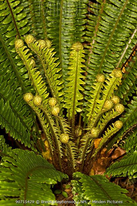 Crown fern (Blechnum discolor) with new unfurling fronds developing, Ulva Island, Stewart Island, New Zealand, November.