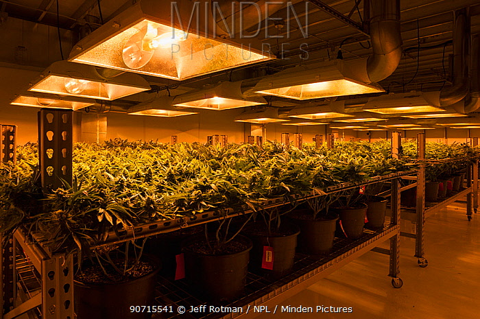 Cannabis plants growing under artificial light,  in organic Marijuana farm, Pueblo, Colorado, USA, June 2015. . Marijuana has legalized in the state of Colorado, and this farm produces Marijuana for medical and retail purposes. Property released.