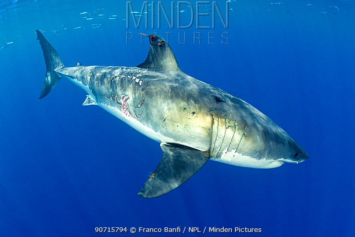 Great white shark (Carcharodon carcharias) Guadalupe Island, Mexico, Pacific Ocean.