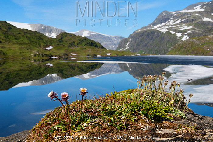 One flowered fleabane (Erigeron uniflorus) flowering on the edge of Ovre Pikhaugvatnet Lake, Glomdalen Valley, Saltfjellet-Svartisen National Park, Norway, August.