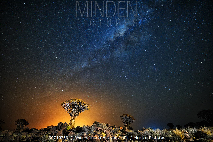 Quiver tree (Aloe dichotoma) with the Milky Way at night, and light pollution from town in the distance, Keetmanshoop, Namibia. Colours accentuated digitally.