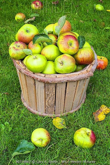 Bramley apples (Malus domestica) in wooden bucket, Norfolk, England UK. October