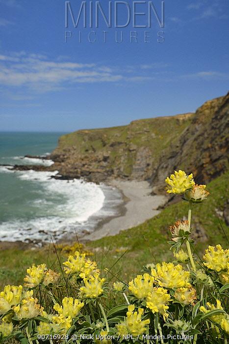 Kidney vetch (Anthyllis vulneraria) flowering on slumping cliff, Widemouth Bay, Cornwall, UK, May.