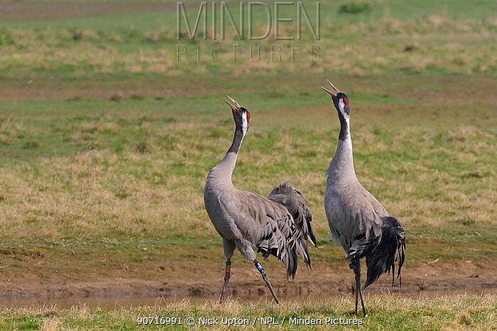 Common / Eurasian crane (Grus grus) pair Monty and Chris released by the Great Crane Project, bugling in unison on partially flooded pastureland to proclaim ownership of their territory, Slimbrigde, Gloucestershire, UK, April 2015.