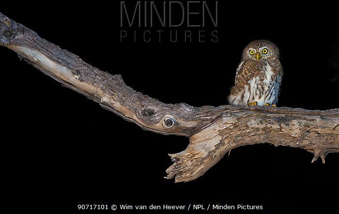 Pearl-Spotted Owl (Glaucidium perlatum) perched on a branch. Okavango Delta Botswana