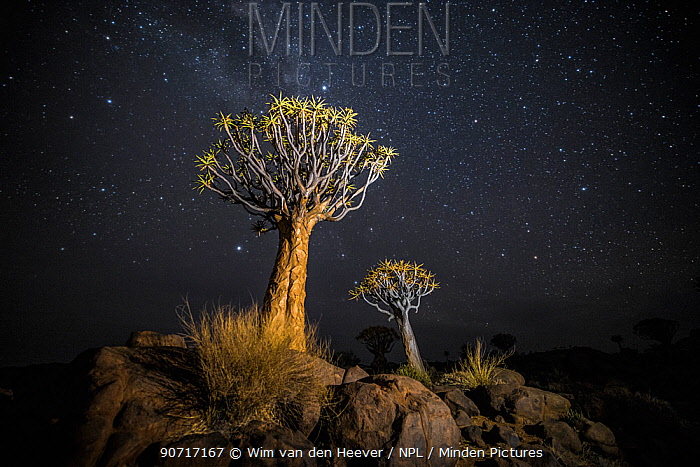 Quiver trees (Aloe dichotoma) with the Milky Way at night, Keetmanshoop, Namibia. Colours accentuated digitally.