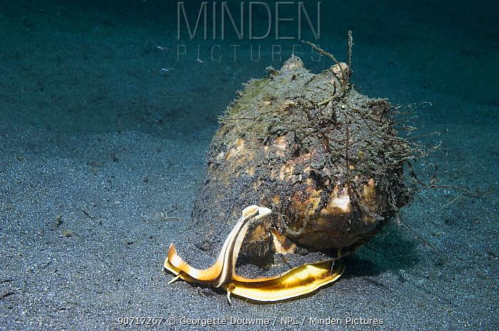 Helmet shell (Cassis cornuta) on seabed  Lembeh Strait,  Sulawesi, Indonesia.