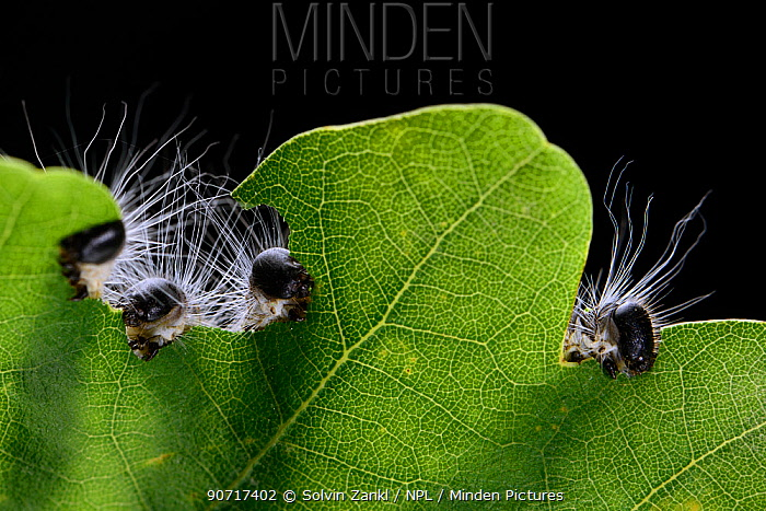 Oak processionary moths (Thaumetopoea processionea) caterpillars feeding on oak leaf,  Niedersechsische Elbtalaue Biosphere Reserve, Elbe Valley, Lower Saxony, Germany