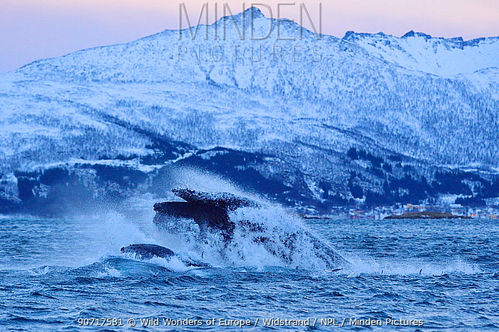 Humpback whale (Megaptera novaeangliae) bulk feeding on Herring (Clupea harengus) in coastal waters, Senja, Troms County, Norway, Scandinavia, January. Cetaceans are attracted to this area to feed on the large numbers of spawning Herring fish