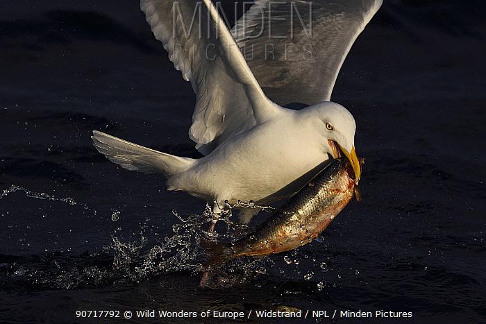 Herring gull (Larus argentatus) flying carrying Herring (Clupea harengus) in beak, Flatanger, Nord-Trondelag, Norway, February.