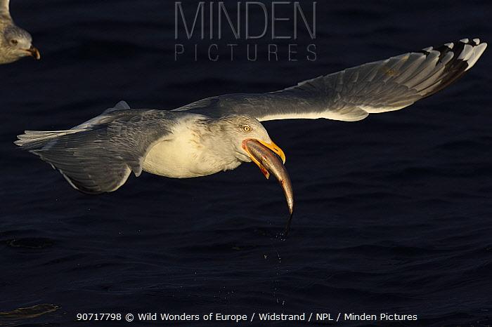 Herring gull (Larus argentatus) flying feeding on Herring (Clupea harengus) Flatanger, Nord-Trondelag, Norway, February.
