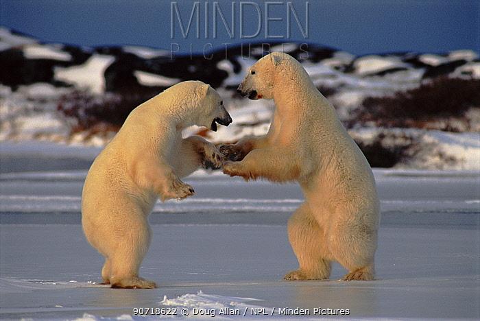 Polar bear males testing each other's strength, Churchill, Manitoba, Canada
