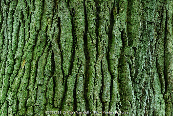 Detail of bark texture on mature Horse chestnut (Aesculus hippocastanum) tree in field near Upton Country Park, Dorset, UK, May.