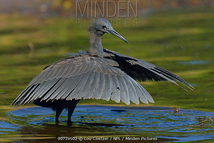 minden pictures stock photos black heron egretta ardesiaca using
