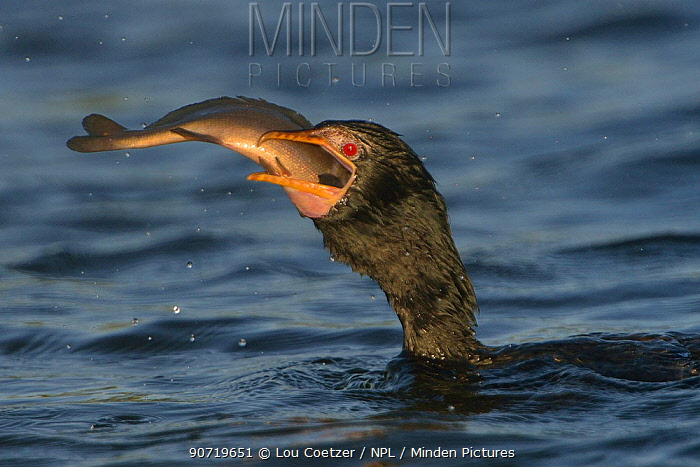Reed cormorant (Microcarbo africanus) attempting to swallow fish, Chobe River, Botswana, May.