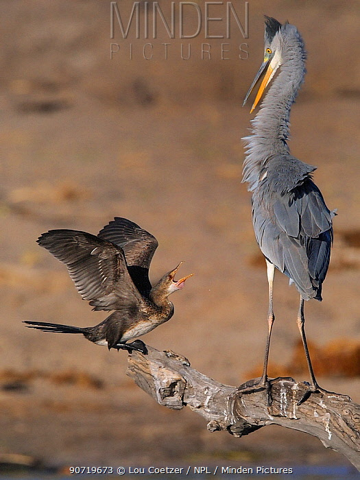 Black headed heron (Ardea melanocephala) and Reed cormorant (Microcarbo africanus) squabbling, Kgalagadi Transfrontier Park, South Africa.