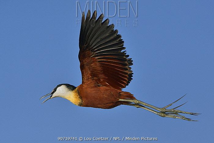 Male African jacana (Actophilornis africanus) in flight, Chobe River, Botswana, June.