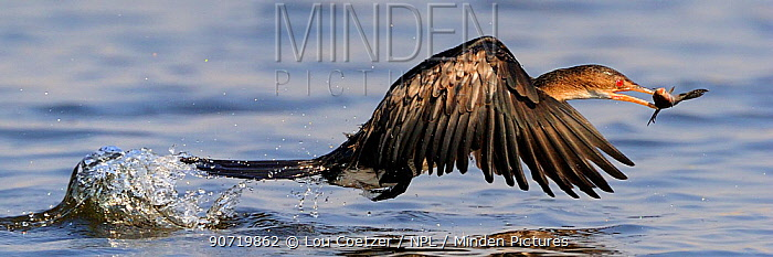 Reed cormorant (Microcarbo africanus) in flight with catch, Chobe River, Botswana, October.