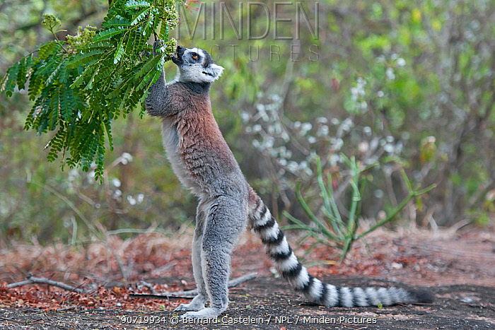 Ring-tailed Lemur (Lemur catta) Anjaha community conservation site, Ambalavao, Madagascar
