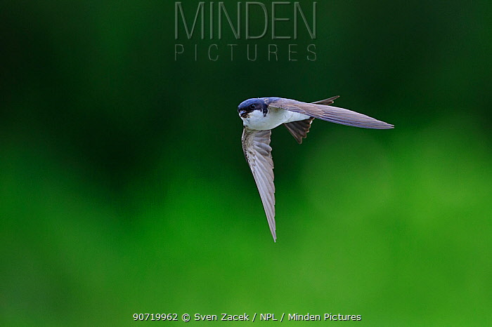 House Martin (Delichon urbicum) in flight. Jogevamaa county, Estonia, July.