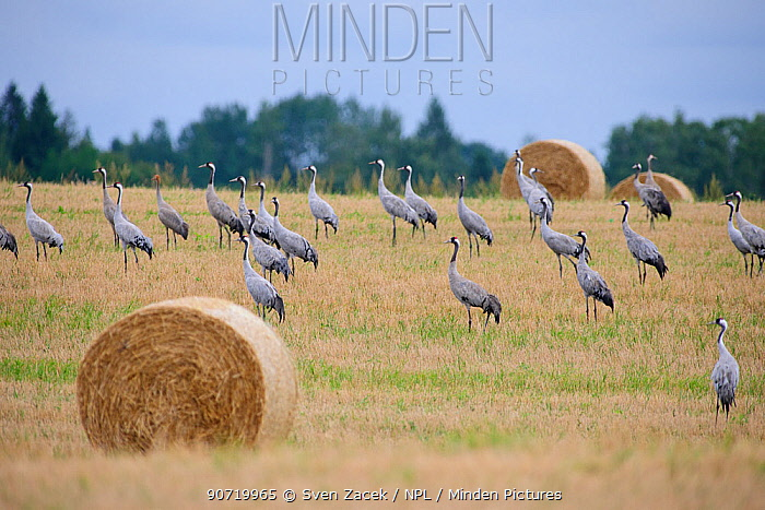 Common Cranes (Grus grus) in field with straw bales, prior to autumn migration. Estonia, August.