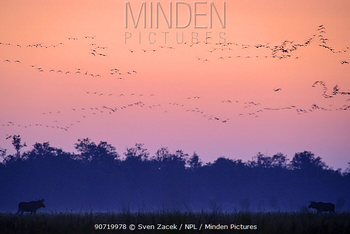 Two bull Moose (Alces alces) sizing each other up during the annual rut,  after sunset with migrating geese in flight. Western Estonia, September.