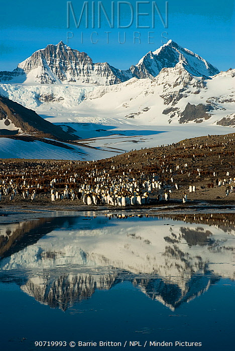 King Penguin (Aptenodytes patagonicus) colony, with mountains reflected in the ocean, St Andrew's Bay, South Georgia. Photograph taken on location for the BBC Frozen Planet series, October 2009.