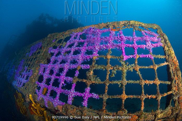 Jewel Anemones (Corynactis haddoni) colonising the wreck of HMNZS Canterbury, Bay of Islands, New Zealand, February 2013