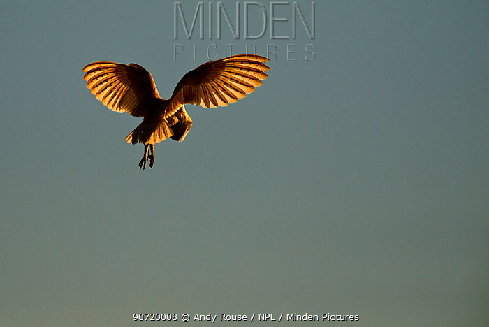 Barn Owl (Tyto alba) in hovering flight, with sunlight highlighting primary feathers. UK, May.