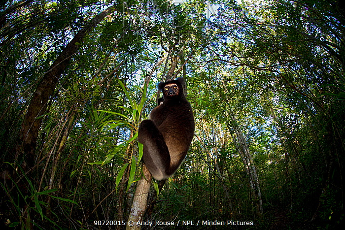 Indri (Indri indri) with wide angle view of tropical rainforest canopy. Madagascar.
