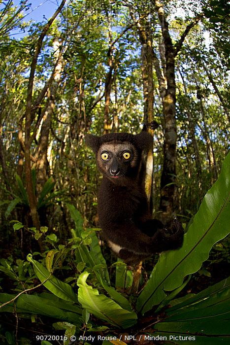 Indri (Indri indri) portrait in tropical rainforest. Madagascar.
