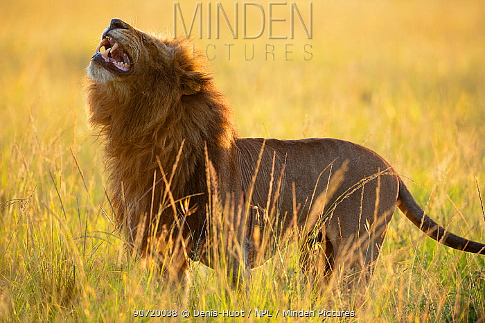 Lion (Panthera leo) male using 'flehmen response' to smell, Masai-Mara Game Reserve, Kenya. Vulnerable species.