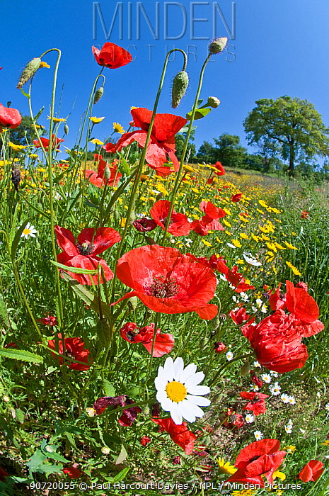 Poppies (Papaver rhoeas) in flower, growing near the military cemetry, Bolsena, Italy. Taken with fisheye lens