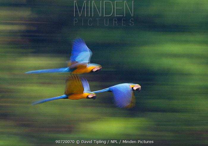 Blue and Yellow Macaws (Ara ararauna) in flight, Tambopata Amazon, Peru