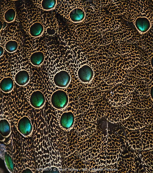 Detail of Malaysian Peacock Pheasant (Polyplectron malacense) feathers, captive