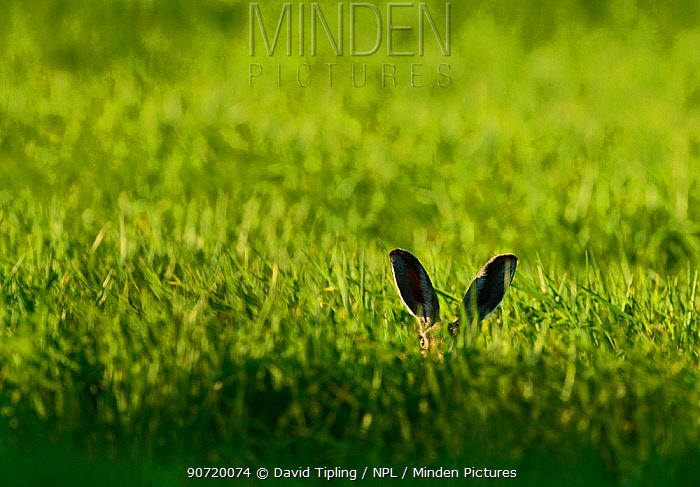 Brown Hare (Lepus europaeus) peeking over grass, Norfolk, May