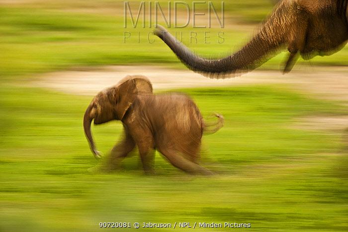 African Forest Elephant (Loxodonta africana cyclotis) mother playing with her calf. Dzanga Bai, Dzanga-Ndoki National Park, Central African Republic.