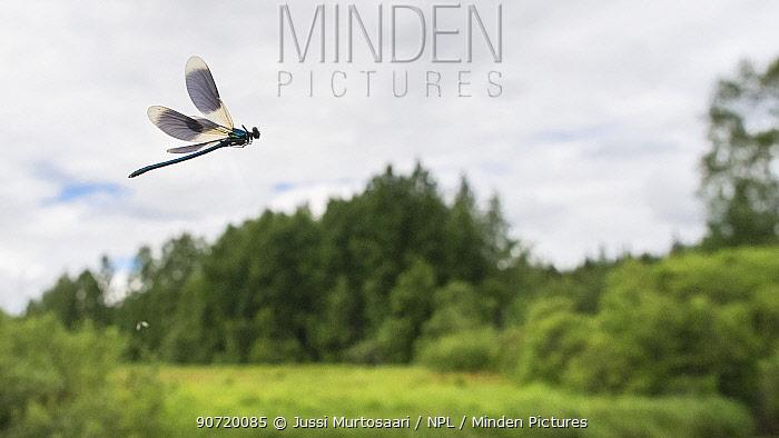 Banded Demoiselle (Calopteryx splendens) male in habitat, Finland, June