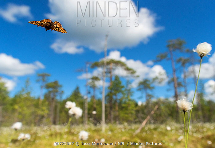 Frigga Fritillary (Boloria frigga) in habitat over cotton grass (Eriophorum) Finland, June