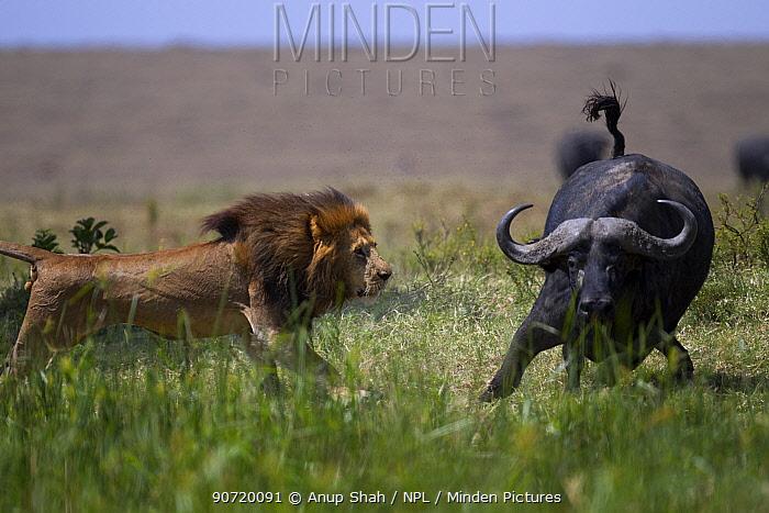 Male lion (Panthera leo) in confrontation with Cape buffalo (Syncerus caffer) Masai Mara National Reserve, Kenya
