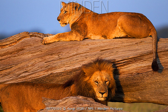 Lioness (Panthera leo) resting on a fallen tree with a courting male. Masai Mara National Reserve, Kenya, July