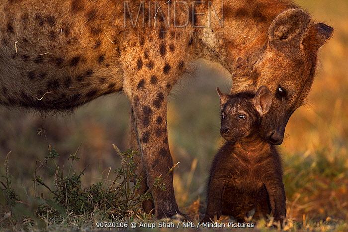 Spotted hyena (Crocuta crocuta) preparing to carry a pup aged 2-3 months. Masai Mara National Reserve, Kenya, July