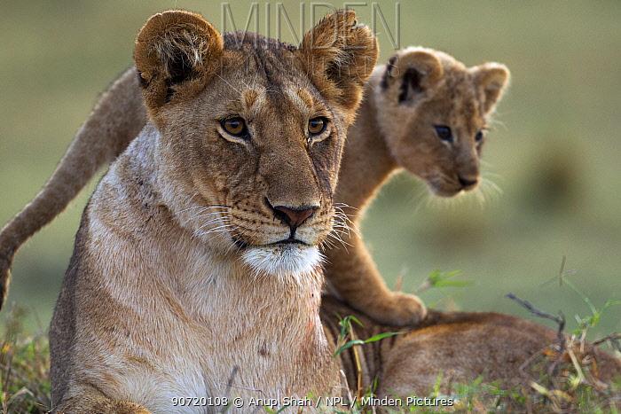 Lioness (Panthera leo) with cub aged 2-3 months portrait. Masai Mara National Reserve, Kenya, August