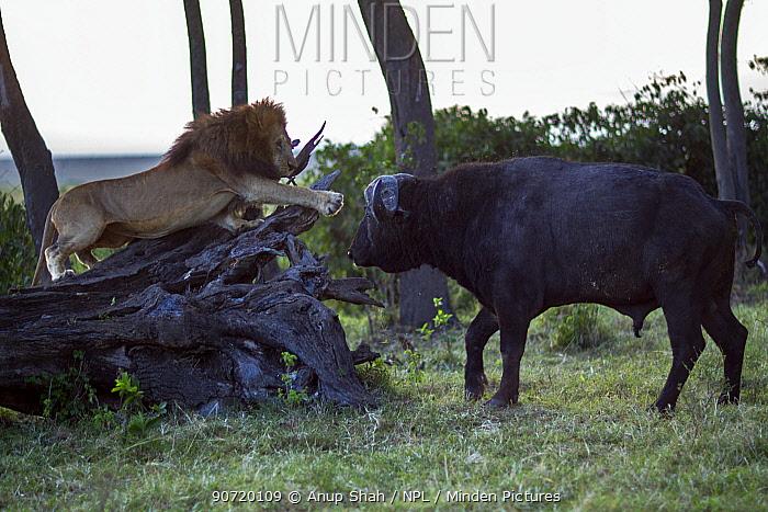 Male lion (Panthera leo) in confrontation with Cape buffalo (Syncerus caffer). Masai Mara National Reserve, Kenya, July