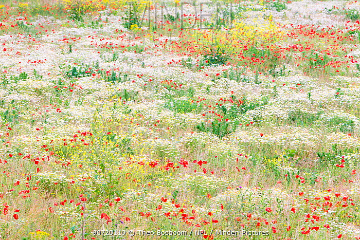 Flowers in bloom with Poppies (Papaver rhoeas) and Anthemis in field near Huissen, the Netherlands, June 2011