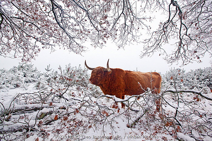 Highland cattle (Bos taurus) in winter landscape, Deelerwoud Nature Reseve, Veluwe, the Netherlands, December